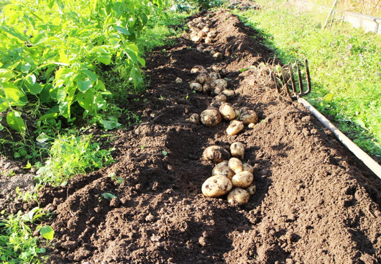 新ジャガイモの収穫
