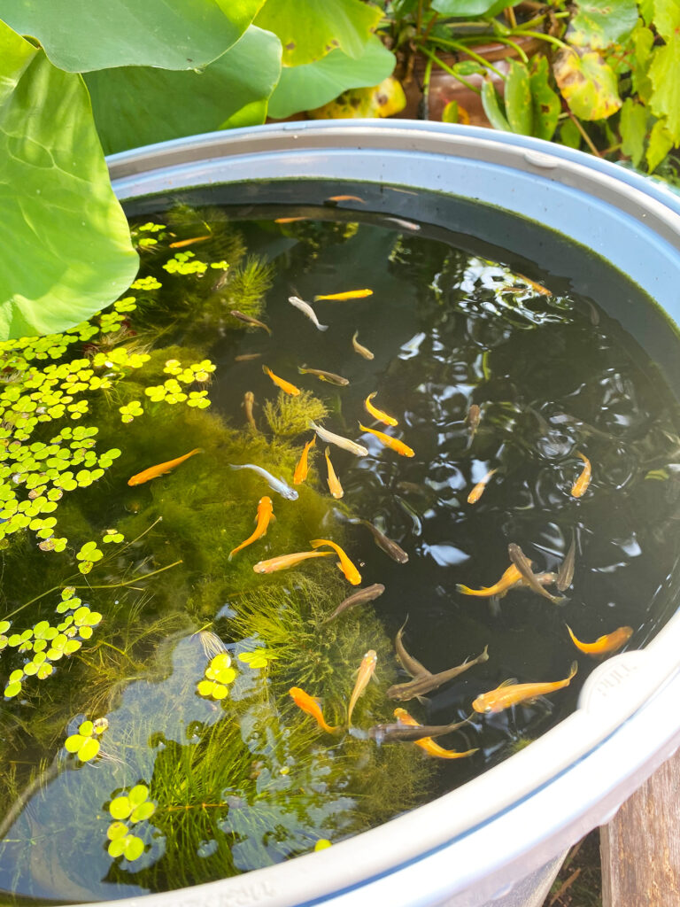 ため池のメダカ