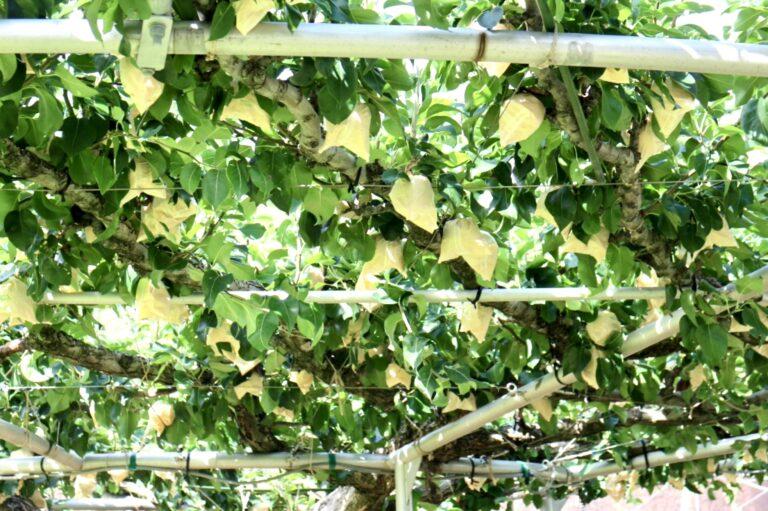 令和3年9月のアグリ便「鳥取県産 二十世紀梨🍏」